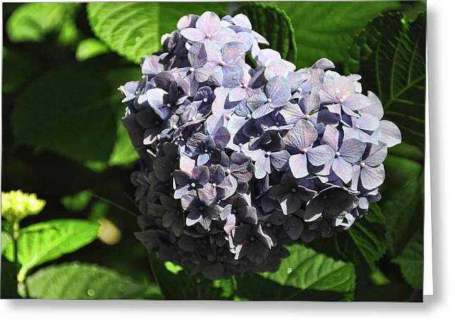 Heliotrope Greeting Card by JAMART Photography