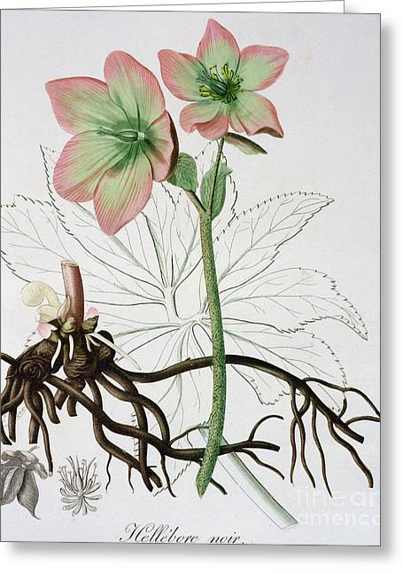 Helleborus Niger, Commonly Called Christmas Rose Or Black Hellebore, Greeting Card