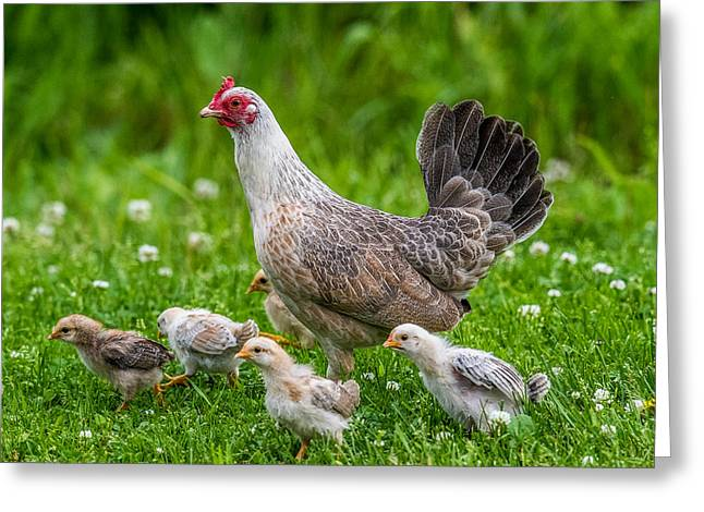 Hen And Chicks Greeting Card by Paul Freidlund
