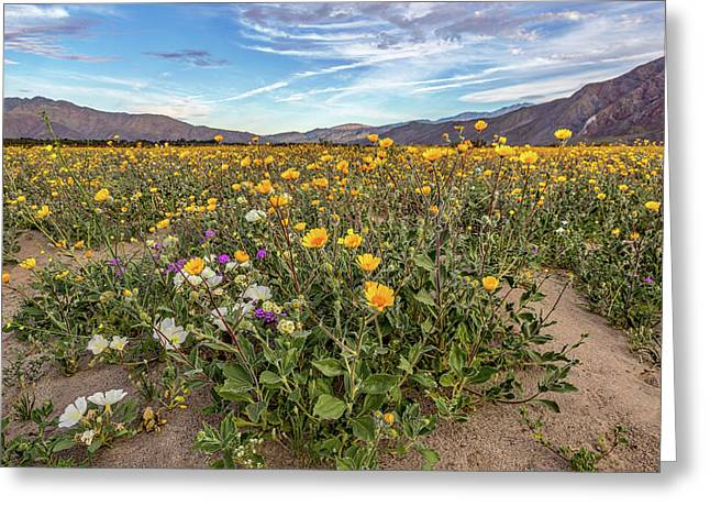 Henderson Canyon Super Bloom Greeting Card by Peter Tellone