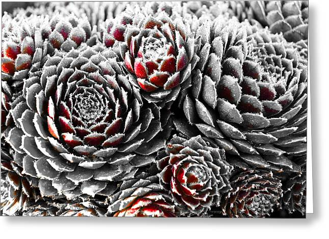 Hens And Chicks...succulent Plants Greeting Card by Tom Druin
