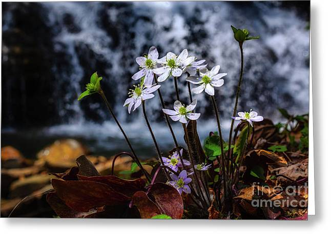 Hepatica And Waterfall Greeting Card by Thomas R Fletcher