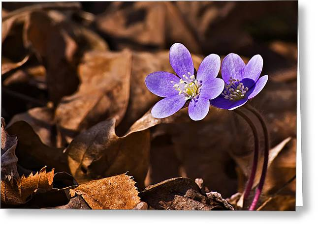 Hepatica Flower Greeting Card by Michael Whitaker