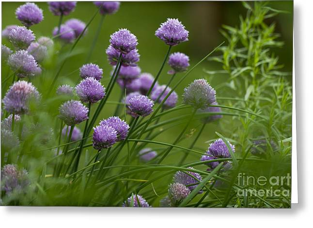 Bambers Greeting Cards - Herb Garden. Greeting Card by Clare Bambers