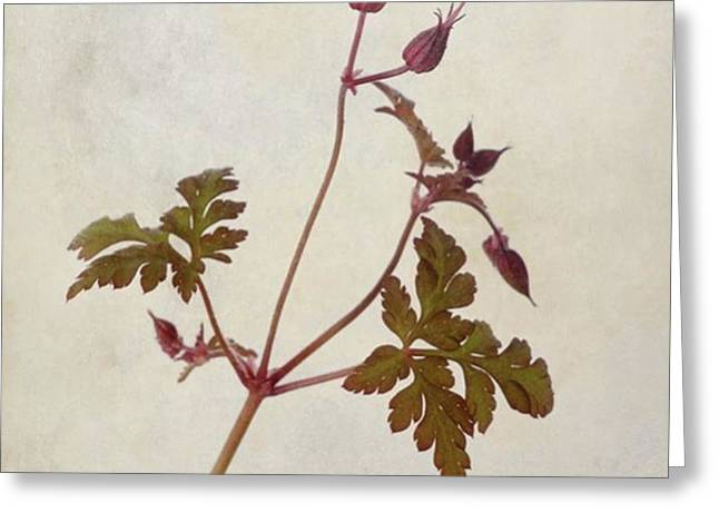 Herb Robert - Wild Geranium  #flower Greeting Card