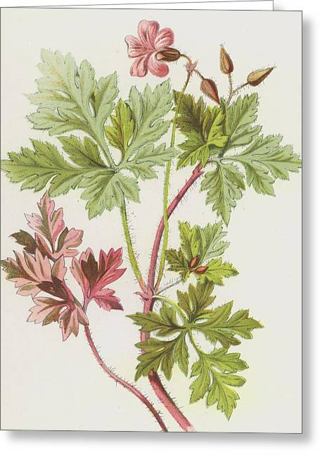 Herb-robert Greeting Card