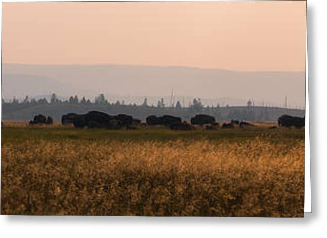 Herd Of Bison Grazing Panorama Greeting Card