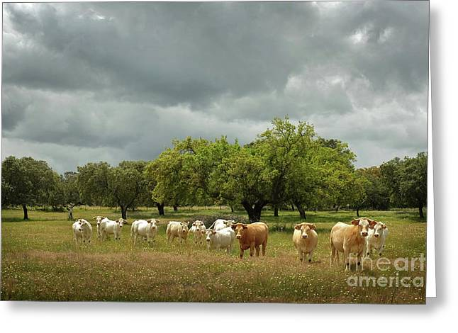 Herd Of Cows Greeting Card by Carlos Caetano