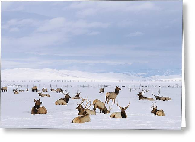 Herd Of Elk Wintering At The National Elk Refuge In Jackson Hole Greeting Card by Reimar Gaertner