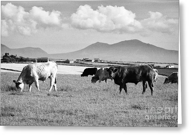 Herd Of Free Range Beef Cattle Anglesey North Wales Uk Greeting Card by Joe Fox