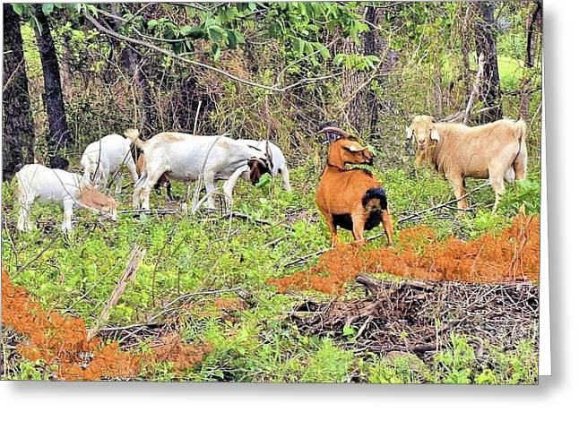 Herd Of Goats In Osage County Greeting Card