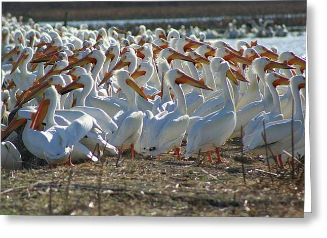 Herd Of Pelicans Greeting Card by Shari Morehead