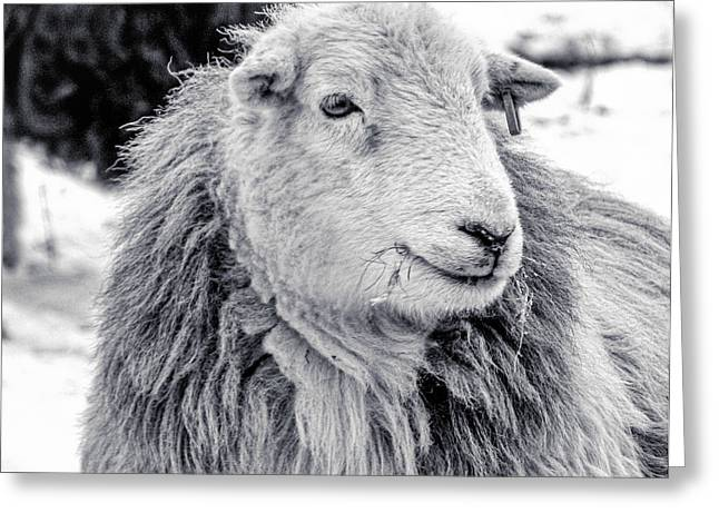 Herdwick Sheep Greeting Card by Keith Elliott