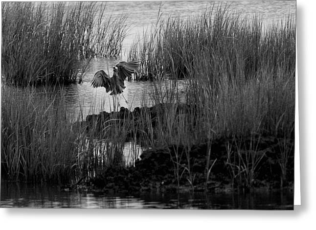 Heron And Grass In B/w Greeting Card