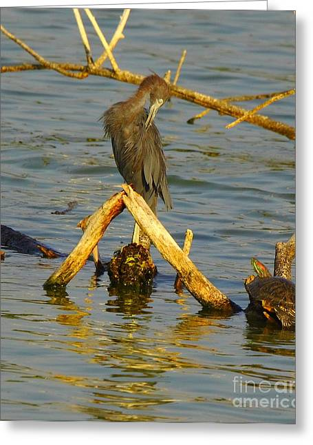 Heron And Turtle Greeting Card by Robert Frederick