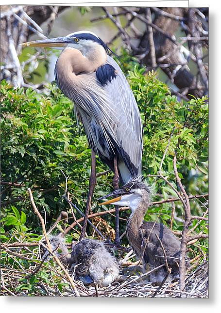 Greeting Card featuring the photograph Heron Babies by Paul Schultz
