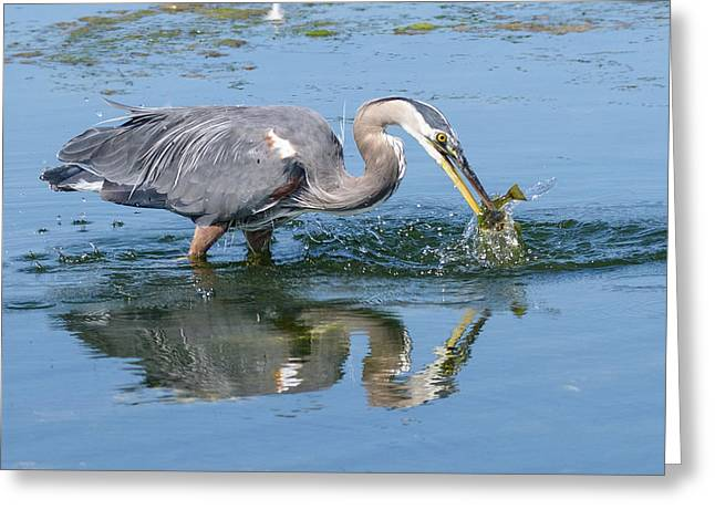 Great Blue Heron Catches A Fish Greeting Card