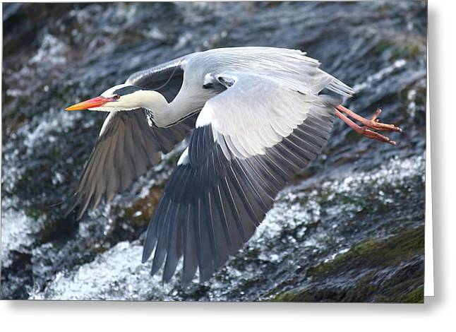 Heron - Fish Hunter Greeting Card