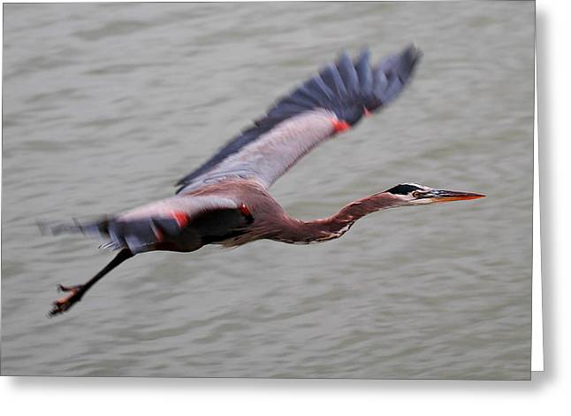 Heron Fly By Greeting Card by John King