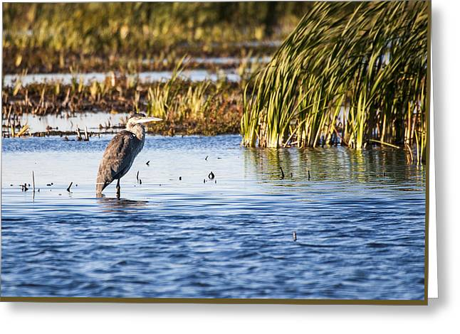Heron - Horicon Marsh - Wisconsin Greeting Card by Steven Ralser