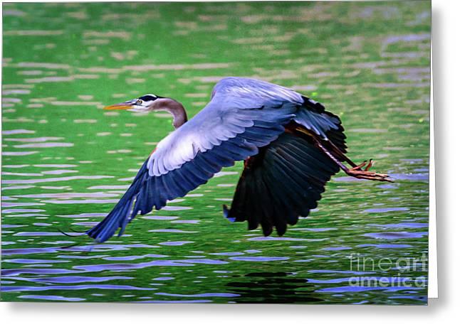 Heron In Flight At Honor Heights Park Greeting Card