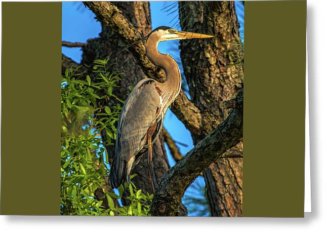 Heron In The Pine Tree Greeting Card