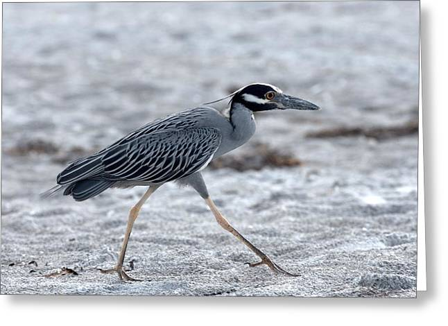 Yellow-crowned Night Heron On A Mission Greeting Card