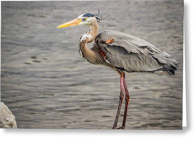 Heron On The Lookout Greeting Card by Jean Noren