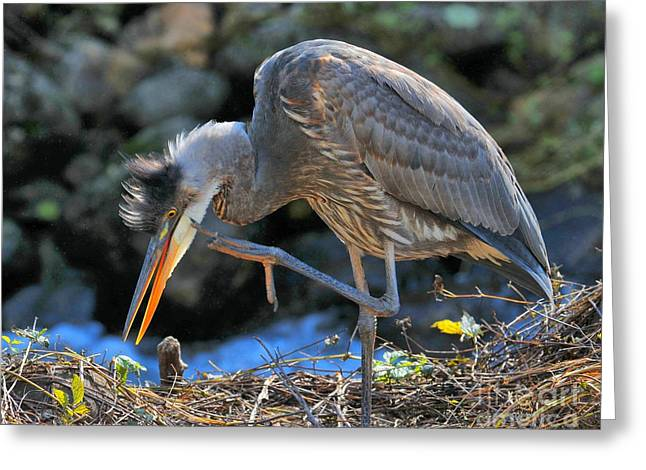 Greeting Card featuring the photograph Heron Scratch by Debbie Stahre