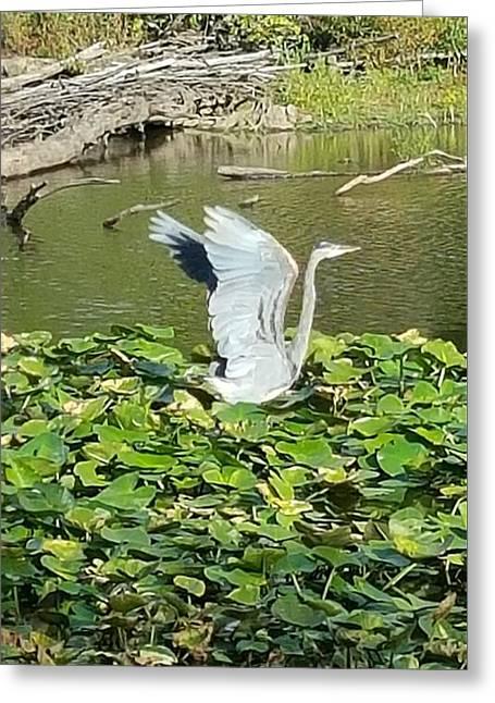 Heron Wings Greeting Card