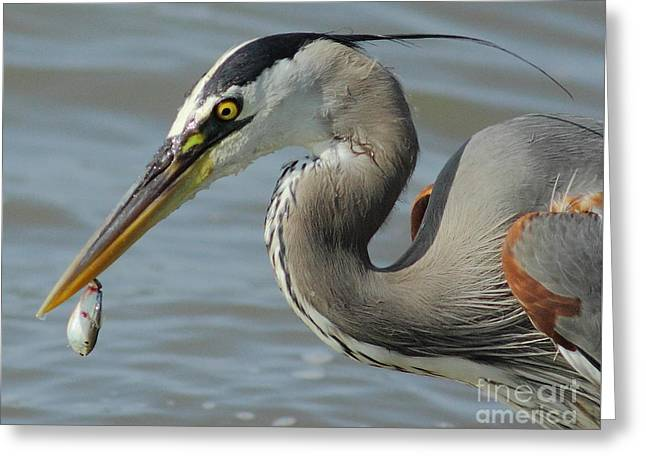 Heron With Injured Shad Greeting Card by Robert Frederick