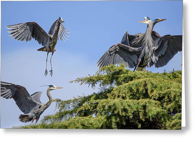 Herons Mating Dance Greeting Card by Keith Boone