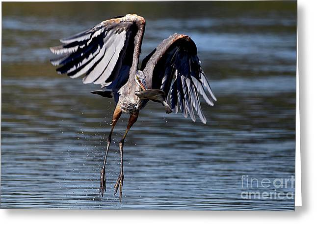 Great Blue Heron In Flight With Fish Greeting Card