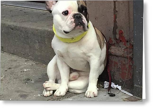 Hey, #bulldog! #harlem #nycdogs #nyclife Greeting Card by Gina Callaghan