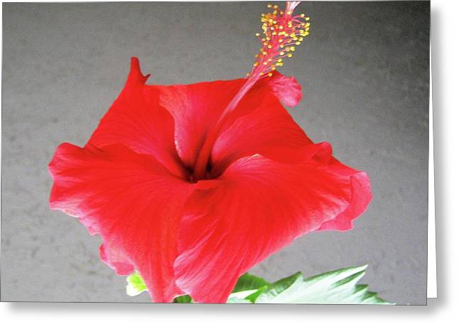 Hibiscus #1 Greeting Card