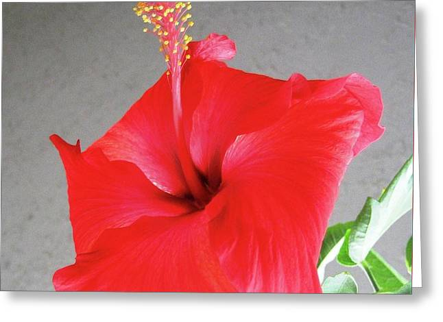 Hibiscus #2 Greeting Card