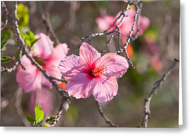 Hibiscus Greeting Card by American School