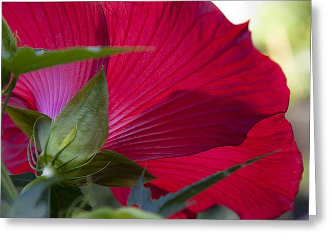 Greeting Card featuring the photograph Hibiscus by Charles Harden
