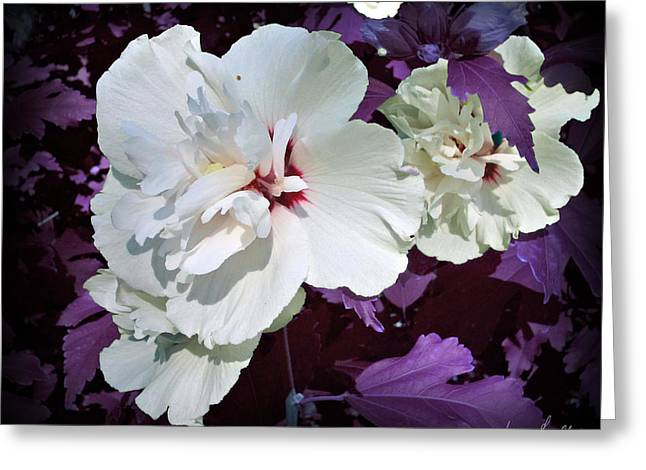 Greeting Card featuring the photograph Hibiscus - Circa 2006 Saratoga, Ny by Iowan Stone-Flowers