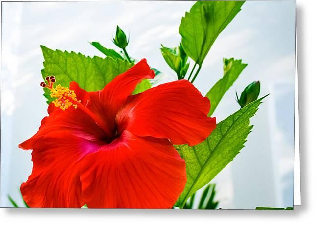Hibiscus Closeup Greeting Card