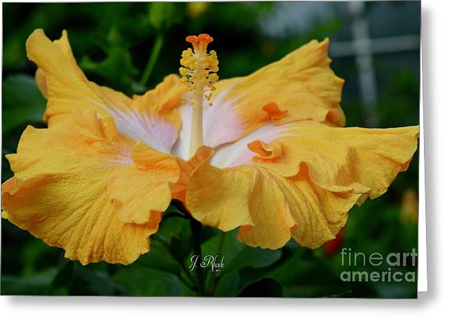 Hibiscus Golden Mist Greeting Card
