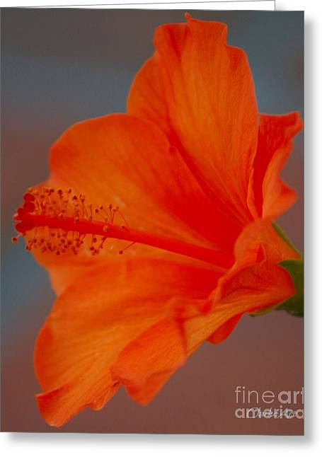 Hot Orange Hibiscus Greeting Card