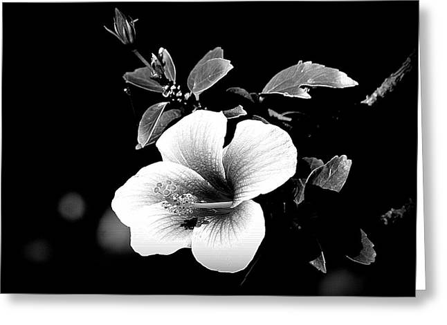Greeting Card featuring the photograph Hibiscus In The Dark by Lori Seaman