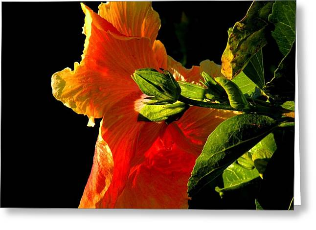 Hibiscus In The Light Greeting Card by Rosalie Scanlon