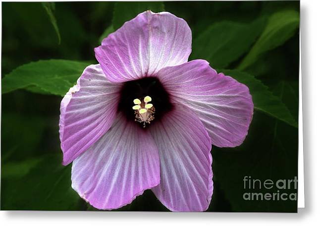 Hibiscus  Greeting Card by JW Hanley