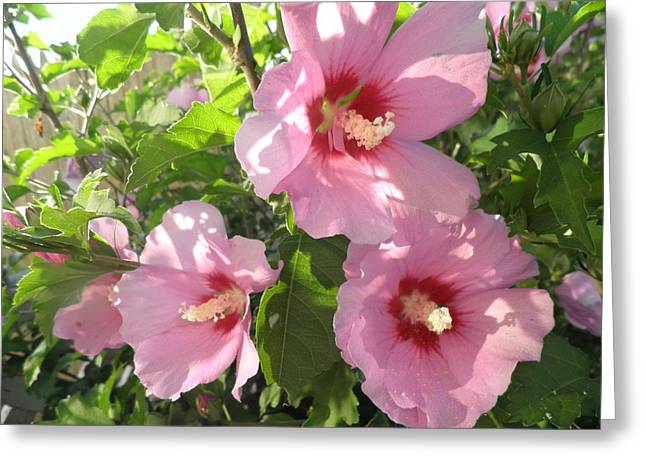 Hibiscus Greeting Card by Kate Gallagher