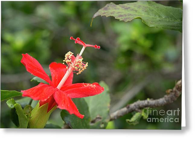 Greeting Card featuring the photograph Hibiscus Kokio Ula Ula by Charmian Vistaunet