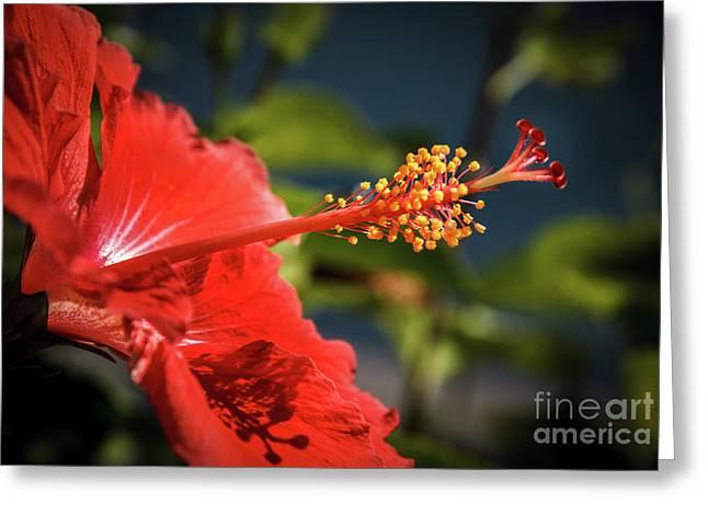 Hibiscus Macro Greeting Card by Robert Bales