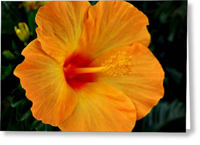Hibiscus Greeting Card by Marilynne Bull