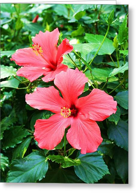 Hibiscus Greeting Card by Michael C Crane